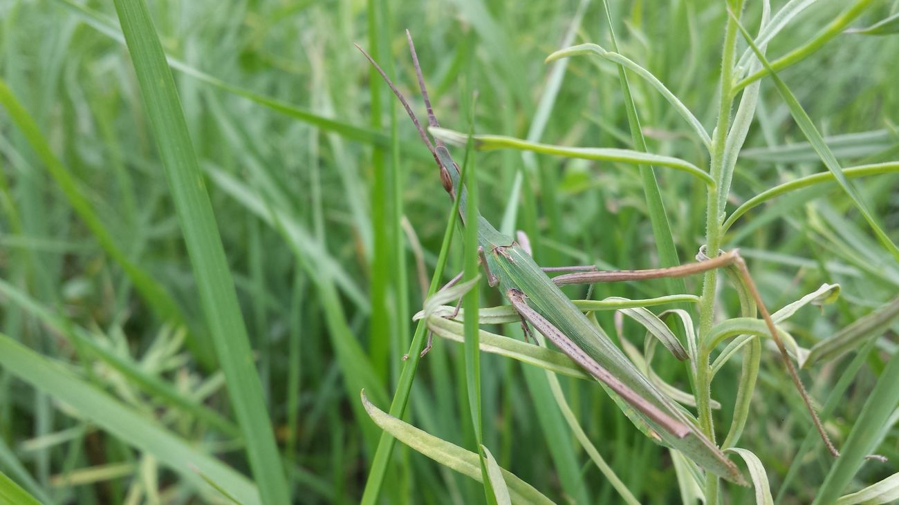Samsung S4 Close-up Extreme Close-up Field Focus On Foreground Grasshopper Green Insect Photography Insectworld Mimetic Mimetism Nature Plant