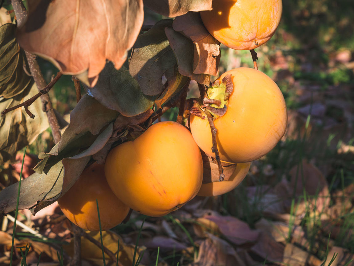 Agios Ioannis Agriculture Day Fall Season Focus On Foreground Food Food And Drink Freshness Fruit Growth Hanging Harvest Healthy Eating Nature Orange Color Orchard Outdoors Live For The Story Rose Fruit Fall Colors Persimmon Tree Fruits Organic Farming Persimmons Kaki Fruit