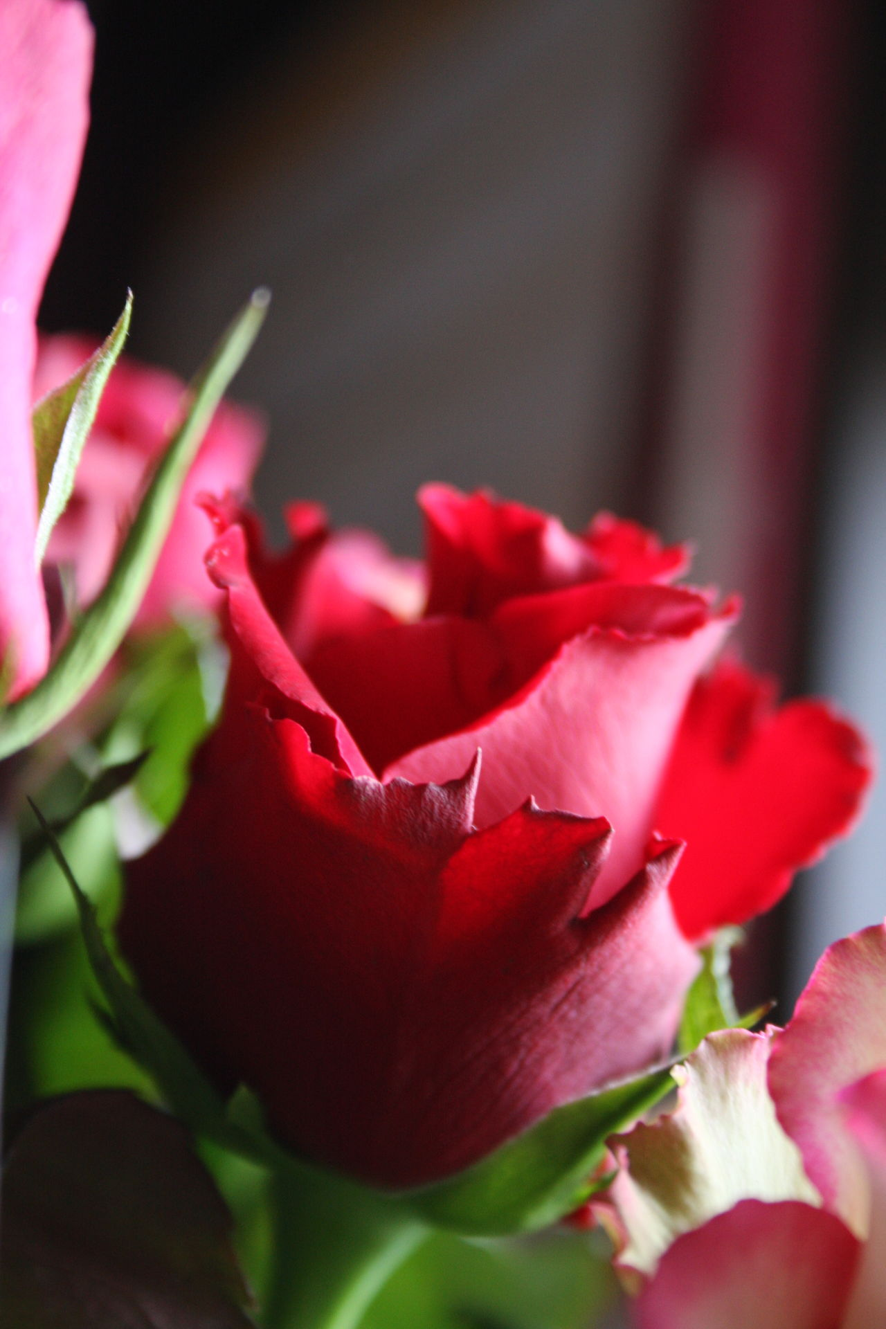 Beauty In Nature Blooming Close-up Day Flower Flower Head Fragility Freshness Growth Love Love ♥ Nature No Filter, No Edit, Just Photography No People Outdoors Petal Plant Red Rose - Flower Roses Roses Are Red Roses Flowers  Roses🌹 Valentine Valentine's Day