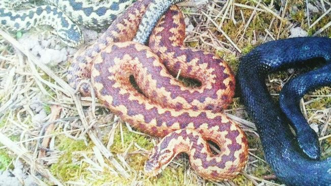 Adders Venomous Snakes taken in surrey..very rare black adder also