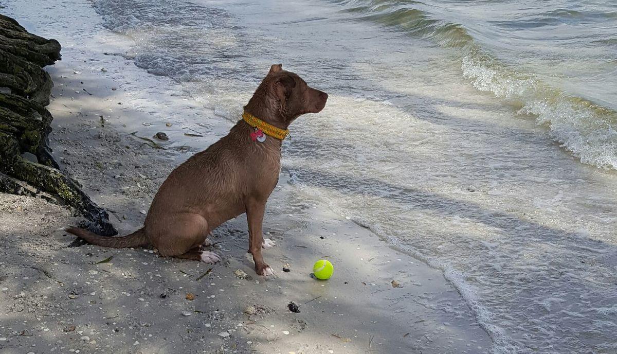 My beautiful girl Beach Life Beautiful Girl My Baby Honey Bear Pitbull Love Pitbull Lives Matter Palma Sola Patiently Waiting Tennis Ball Waves Rolling In Animals