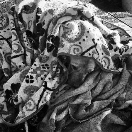 My moms dog layered, wrapped up and snug from the wind. Boerboel Ridgeback Crossbreed Dog Sasha  Wrapped Snug Warm Blankets