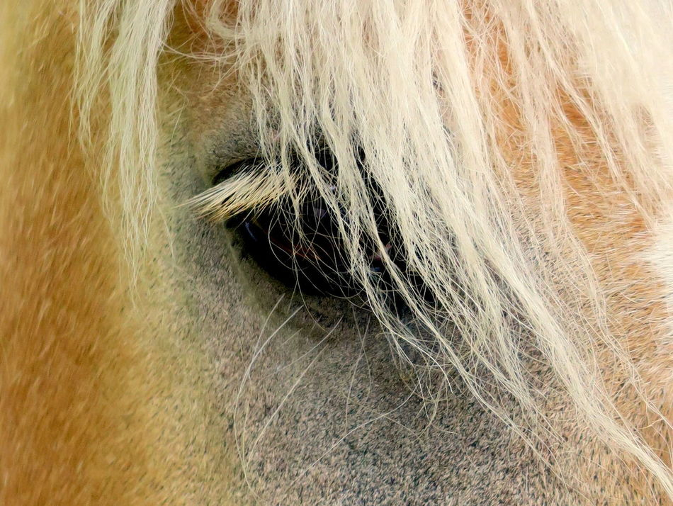 Soul of a horse: lash your hair https://youtu.be/YykjpeuMNEk Animal Animal Body Part Animal Hair Animal Head  Animal Nose Animal Themes At Home Close-up Domestic Animals Equestrian Extreme Close Up Extreme Close-up Eye Lashes Full Frame Haflinger Hair Care Hairy  Herbivorous Horse Eye Livestock Mammal Mane Selective Focus Straight Hair Zoology