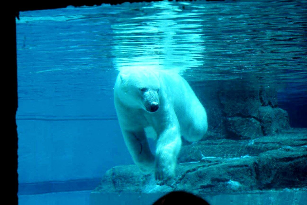 one animal, animal themes, animals in the wild, animal wildlife, mammal, bear, animal, water, no people, sea life, day, swimming, outdoors, underwater, nature, aquatic mammal, sea, aquarium, undersea, close-up