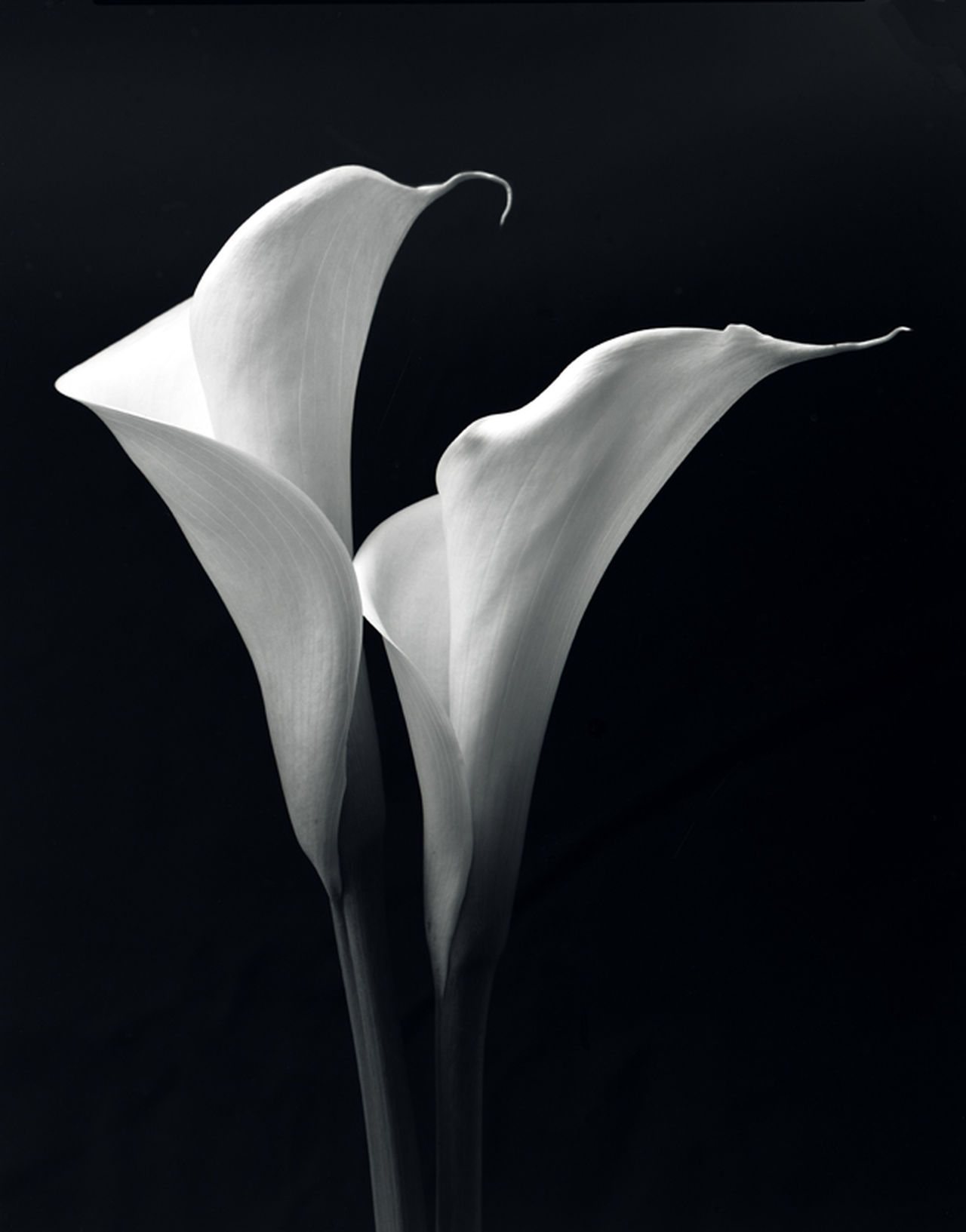 Lilies Lilies In Bloom Canna Lily Lovers Flowers B&w B&w Photography Still Life
