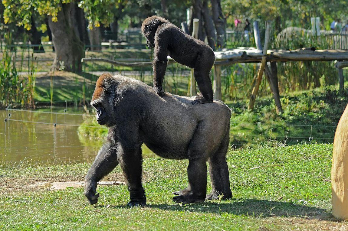Gorilla Gorille Singe Monkey Zoo De La Palmyre France Photos Around You Animal Animaux