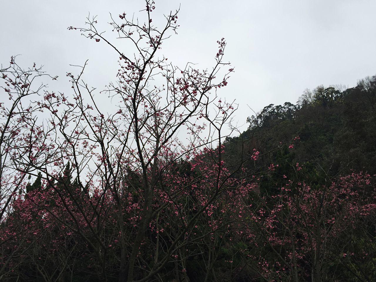 Cherry Blossoms Yang Ming Shan  Taiwan Taipei,Taiwan
