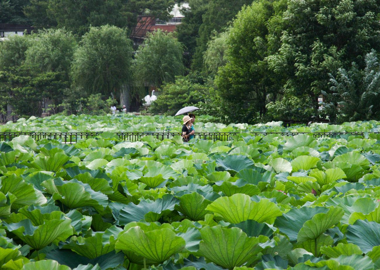 Shinobazu Pond, Ueno Park, Tokyo Garden Gardens Green Japan Japanese  Tokyo Ueno Ultimate Japan Waterlily Lotus Battle Of The Cities
