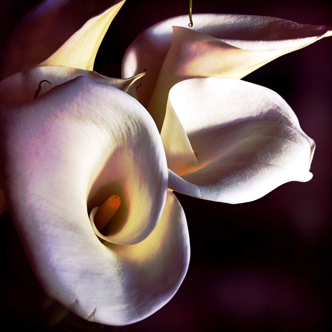 Flower Beauty In Nature Petal Fragility Close-up Nature Flower Head No People Growth Freshness Outdoors Night Calla Lily