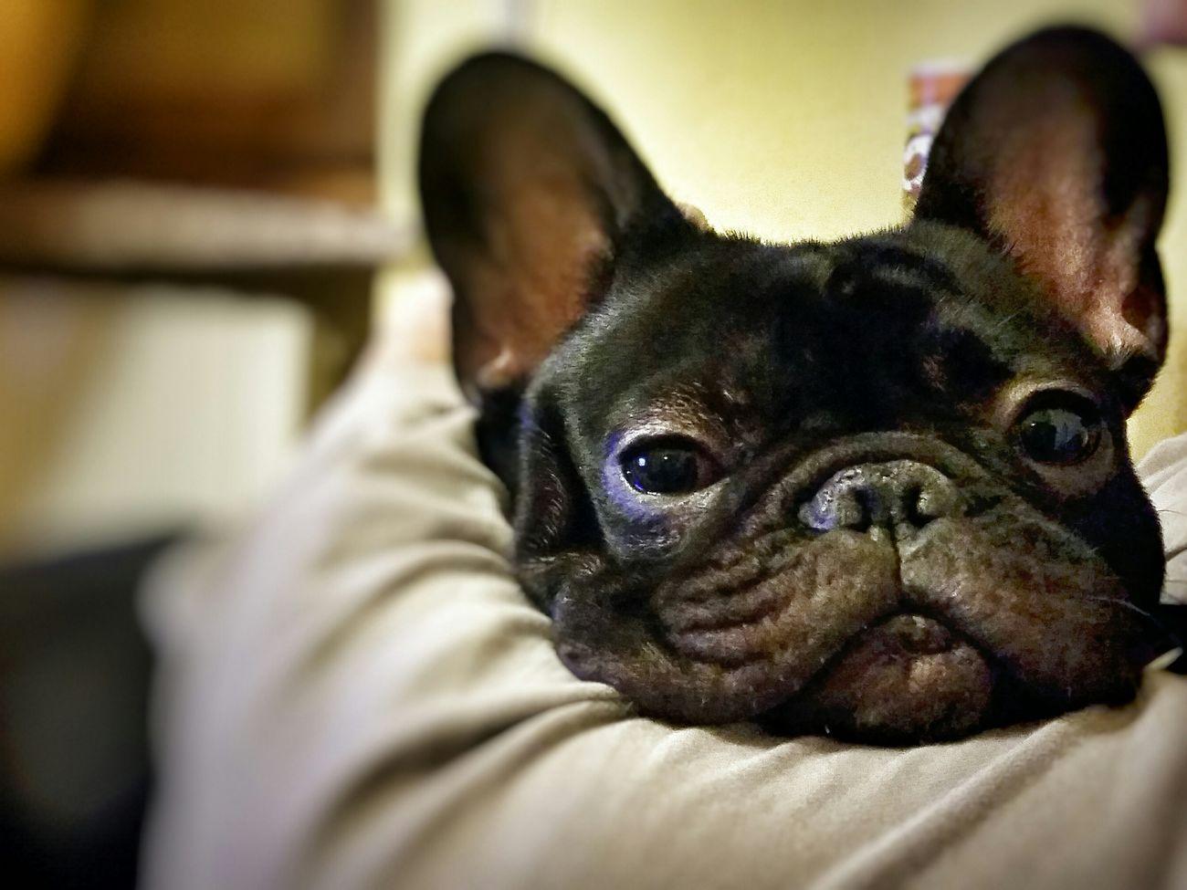 Ora di nanna! Bouledoguefrancais Samsung Galaxy S5 Bouledogue Francais I Love My Dog❤ Bulldogfrances Bouledogue Francese Bulldog Francese Bouledogue Francese Piemonte