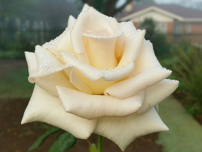 Roses Drinking In The Dew Misty Morning Flower Stalker Beauty In Creation  God's Glory On Display  Fragile Beauty South Africa A Moment In Time What's Your Greatest Desire?