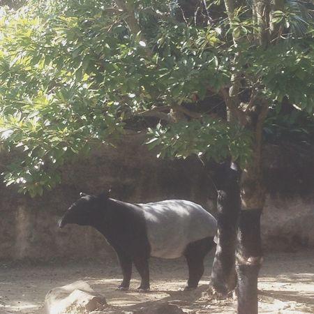 cute Tapir Zoo