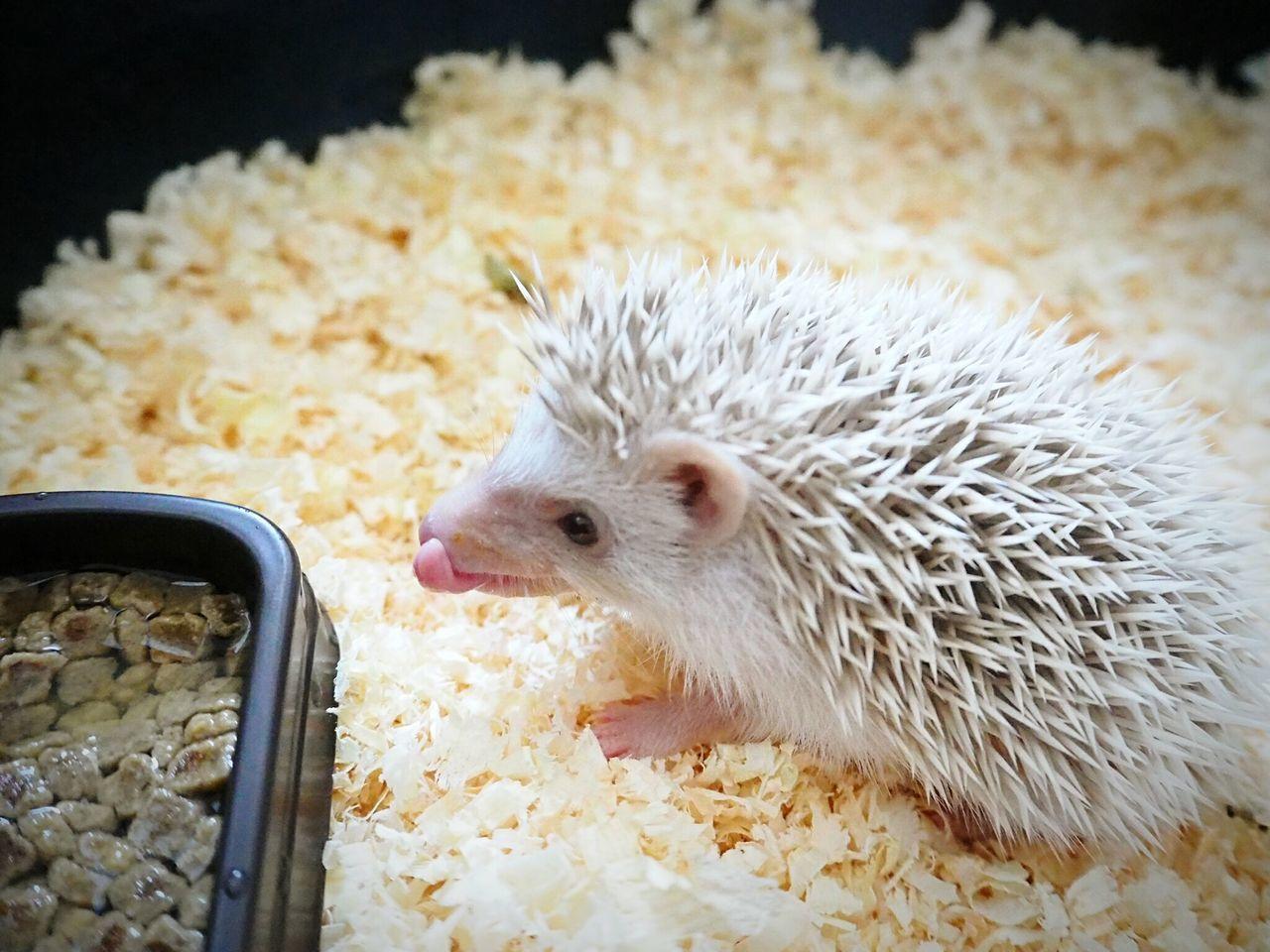 Little hedgehog Hedgehogs Hedgehog Littlehedgehog First Eyeem Photo