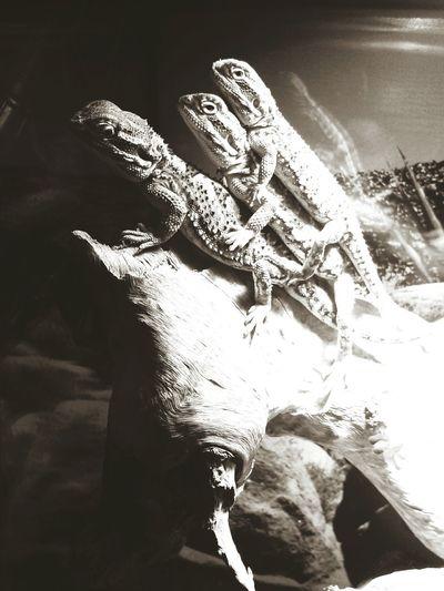 Honkey Tonkey Lizards Pogona Pogona Henrylawsoni Zwergbartagame Terrarium Wood Threesome