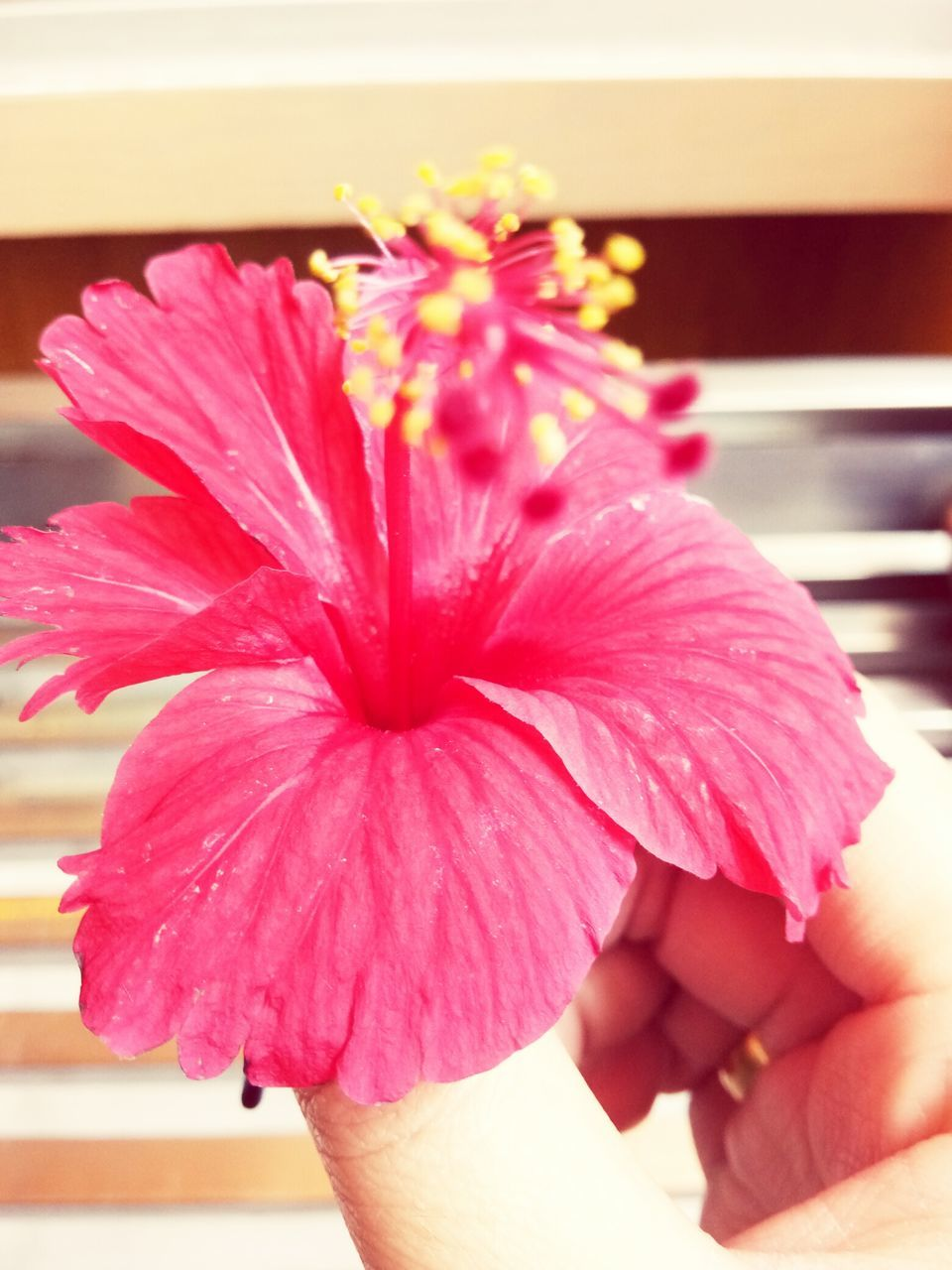 human hand, human body part, real people, flower, one person, human finger, close-up, fragility, focus on foreground, holding, petal, lifestyles, flower head, pink color, day, freshness, indoors, nature, beauty in nature, people