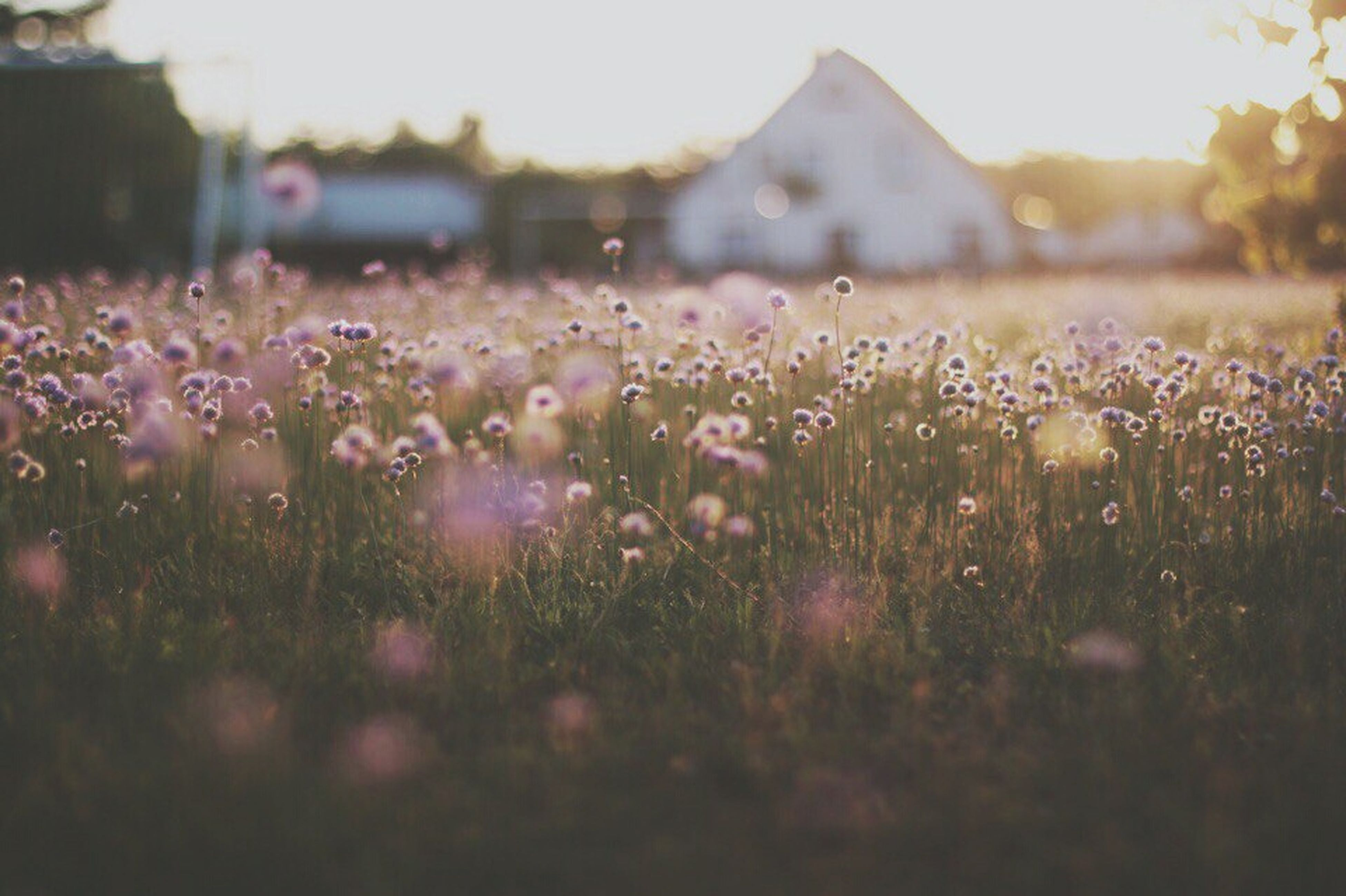 flower, grass, field, selective focus, meadow, outdoors, nature, growth, no people, sunset, summer, day, rural scene, beauty in nature, freshness, close-up, flower head, sky