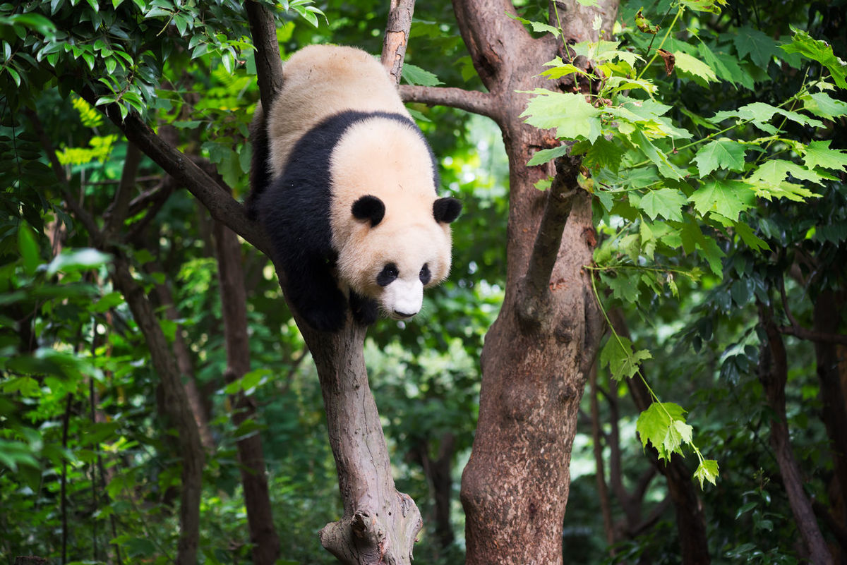 Giant panda in a tree, Chengdu, China Animal Themes Animal Wildlife Animals In The Wild Bear Branch Day Endangered Species Giant Panda Green Color Leaf Mammal Nature No People One Animal Outdoors Panda Panda - Animal Plant Tree Tree Trunk