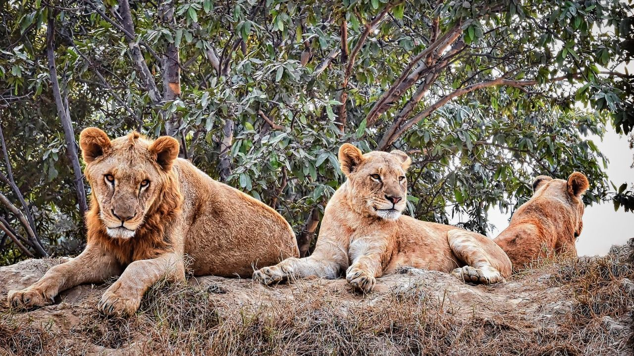Animal Photography Animal Themes Animals In The Wild Lahore Safari Park Lions Nature Pair Of Lions Tree Wildlife & Nature Adapted To The City