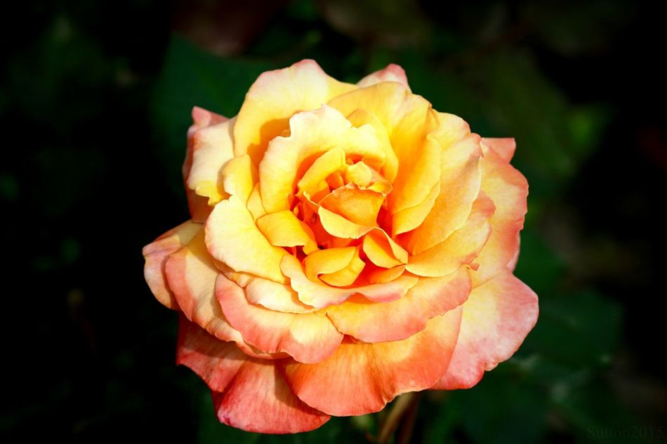 A Rose is a Rose. JustGPhotos Roses Flower Collection Flowers EyeEm Nature Lover Nature Thorns Outdoors Sweet Smell