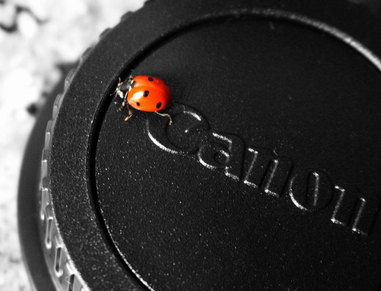 no people, close-up, ladybug, animal themes, day, outdoors