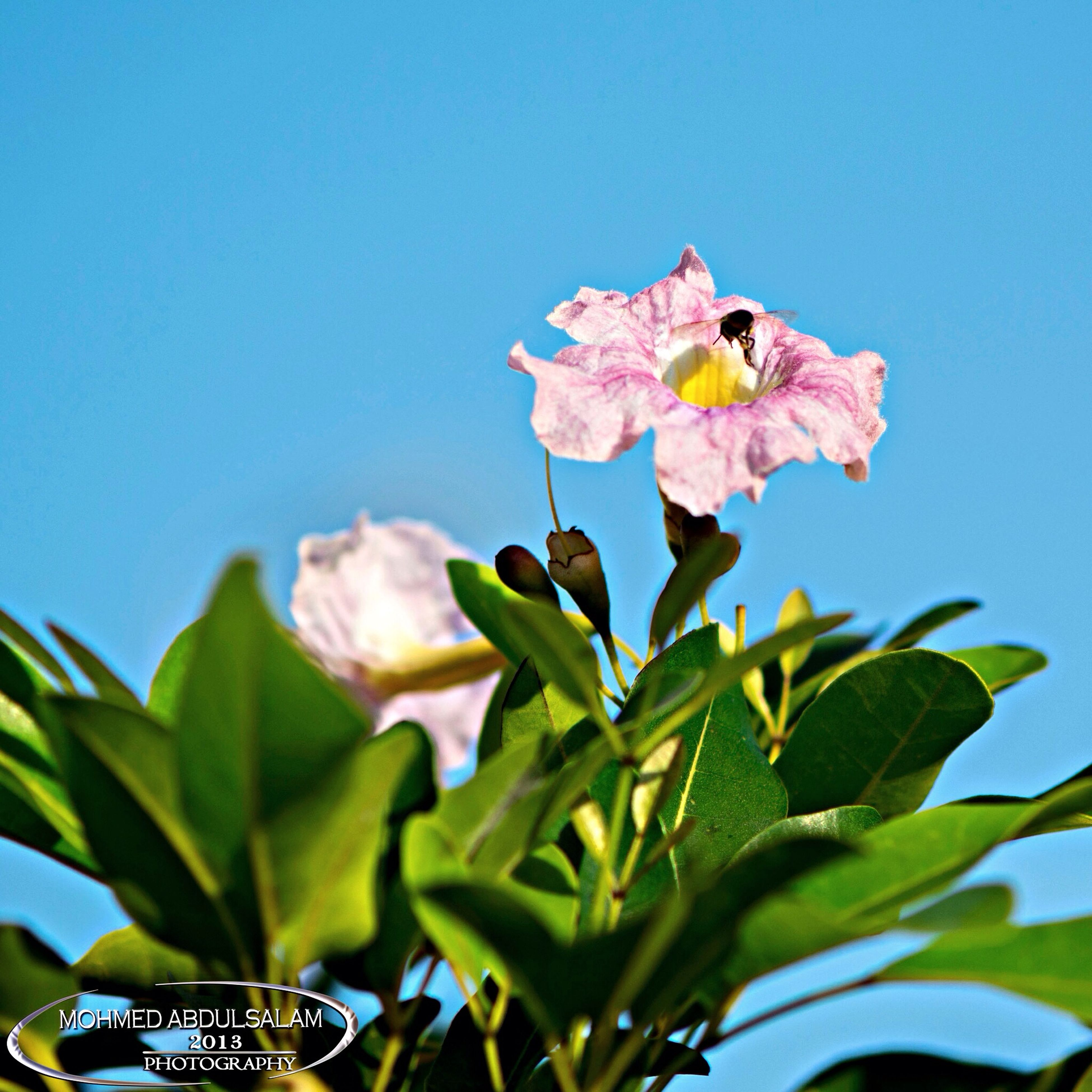 flower, low angle view, petal, freshness, fragility, clear sky, blue, growth, leaf, plant, beauty in nature, nature, blooming, flower head, day, sunlight, close-up, pink color, outdoors, sky