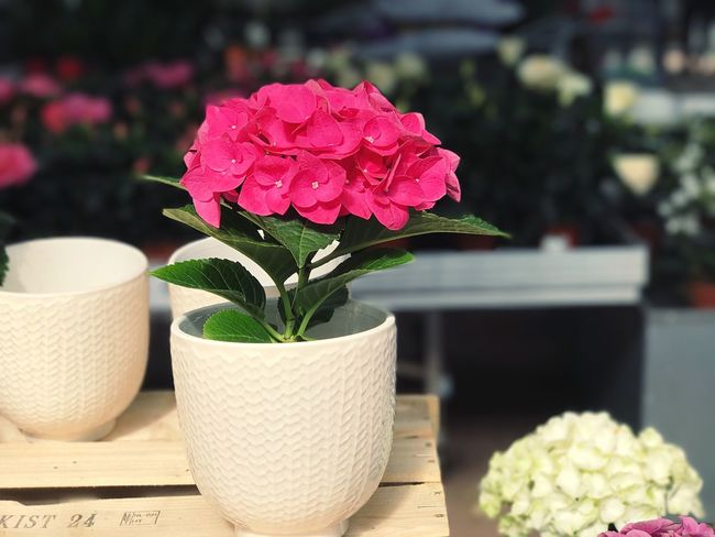 Flower Focus On Foreground Freshness Fragility Growth Petal Close-up Indoors  Nature Plant Beauty In Nature Table No People Day Leaf Blooming Flower Head