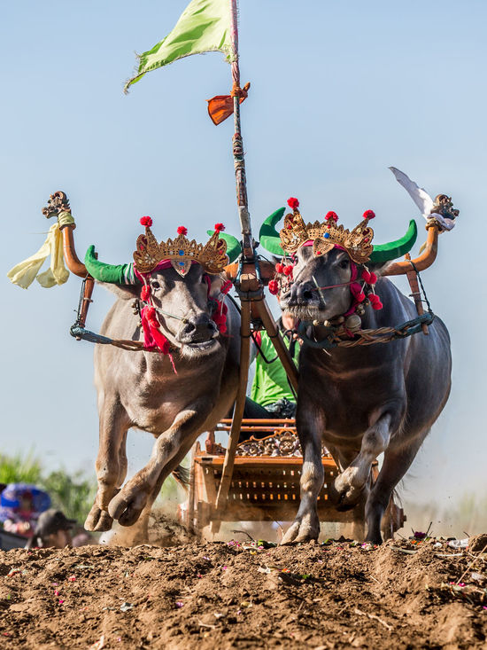 Mekepung means romping in local language of Balinese people. In 1930 the people of Jembrana Regency in Bali inspired by buffalos who plows their paddy field and started to make a festive for their abundant harvest. To celebrate and to be grateful to Gods. The Race will is held twice back and forth of track lane. Every heat consist a team of 3 riders. Riders came along from all towns in Jembrana Regency only. Bali Barong Buffalo Bull Race Bullock Cart Holiday INDONESIA Jembrana Jembrana Province Division Local Makepung Mekepung Motion Negara RF Royalty Free Run Speed Tourism Traditional West Bali