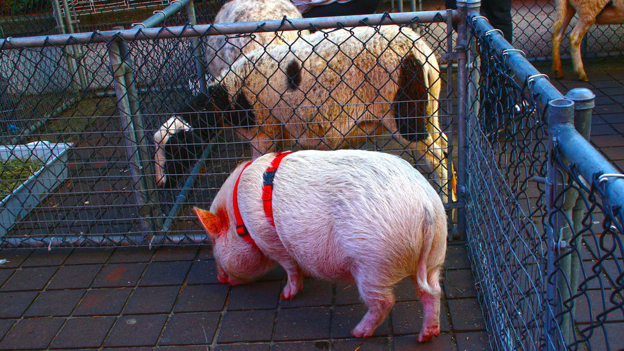 Pig at Lonsdale Quay in North Vancouver B.C on family day. North Vancouver Family Day Lonsdale Quay North Vancouver B.C. Canada Domestic Animals Cage Pets Animal Themes One Animal Dog Outdoors No People
