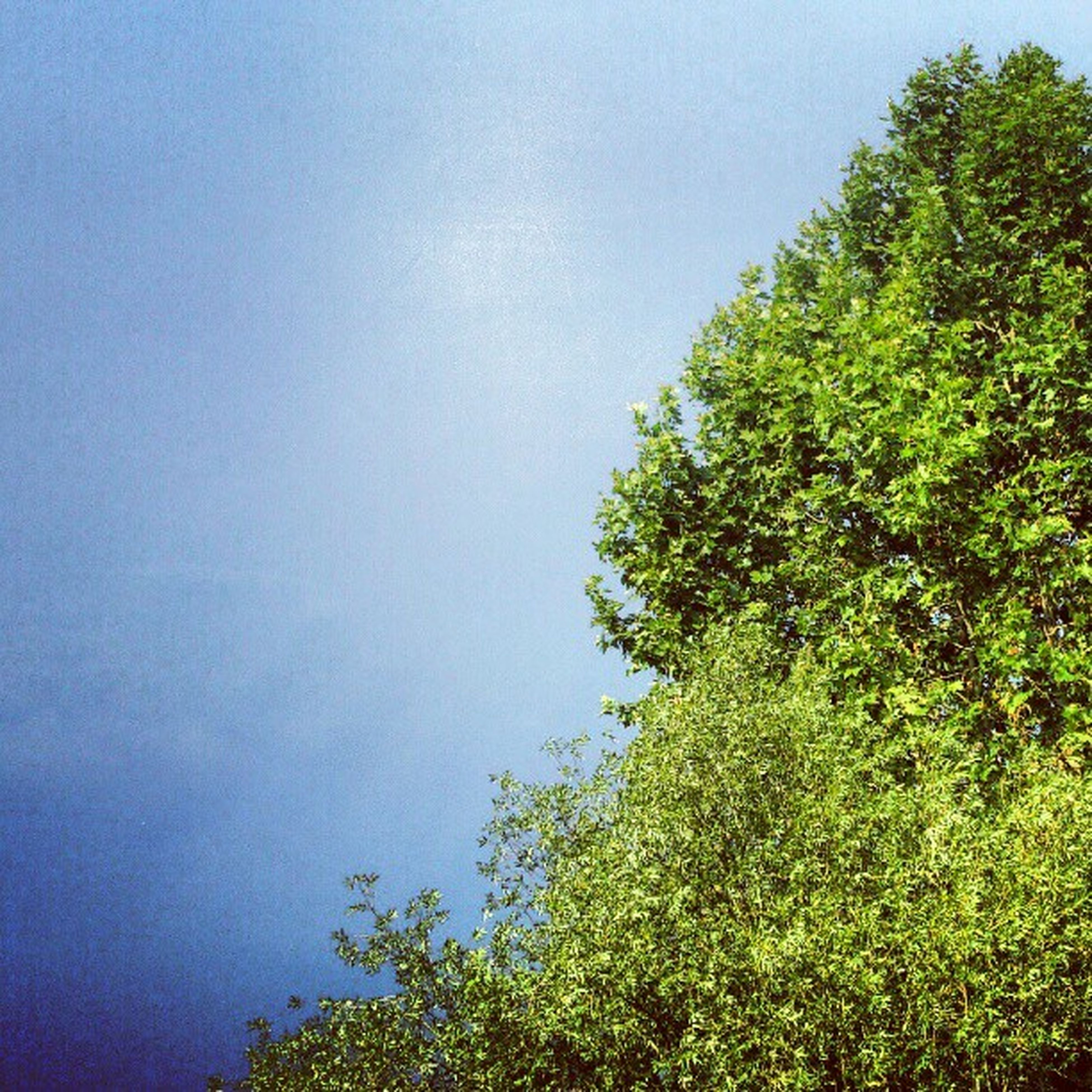 tree, clear sky, growth, low angle view, tranquility, copy space, beauty in nature, green color, blue, nature, tranquil scene, scenics, sky, branch, lush foliage, green, day, outdoors, no people, idyllic
