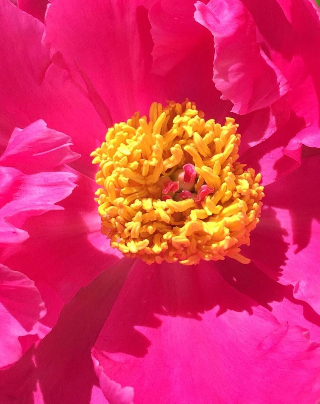 Close-up Hotpink Peony  Flower Outdoors Beauty In Nature Plant Nature MyPhotography Color Portrait