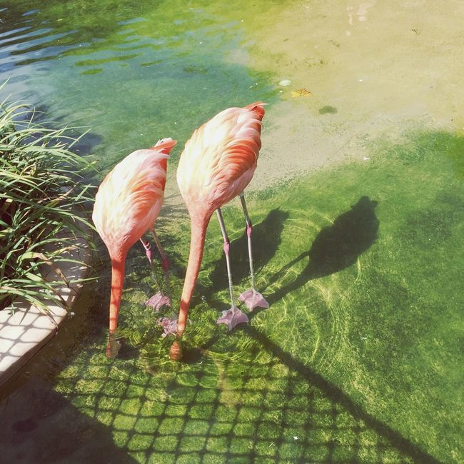 Water Animal Themes Bird Lake Zoology Pink Color Nature Day Outdoors Green Color Tranquility Beak Beauty In Nature No People Lakeside Light And Shadow EyeEm Best Shots Flamingo