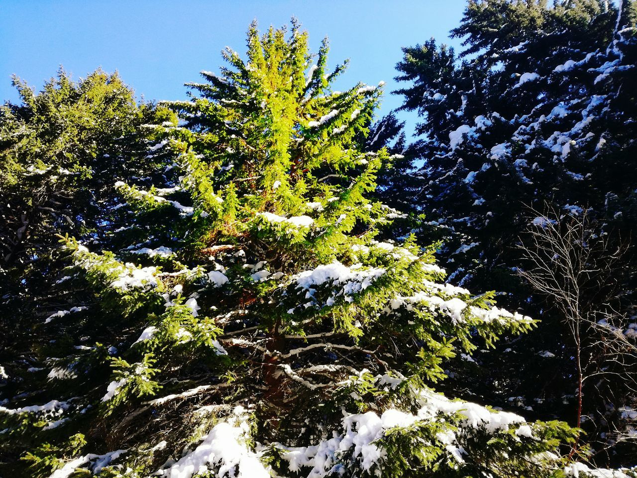 Tree No People Sky Growth Low Angle View Outdoors Nature Day Pine Pine Tree Pine Woodland Pinetrees🌲 Pinetrees Pine Trees Pine And Snow Pines Pine Needles Pine Wood Pine Forest Pinewood Pines Forest Vitosha National Park Vitosha Mountain Bulgaria Vitosha Mountain Sofia, Bulgaria