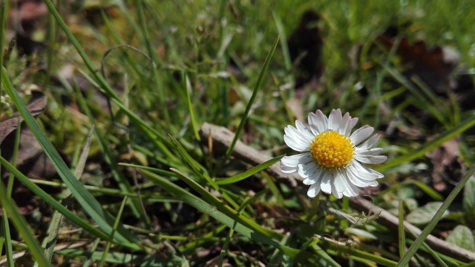 Spring Flower Growth Beauty In Nature Grass Flower Head Petal Pollen Nature Nature Taking Pictures Taking Photos Natuer_collection Flowers, Nature And Beauty Daisy 🌼 Daisy Flower Head Daisy Flower Daisy Close Up Garden Fragility Plant Daisy💜