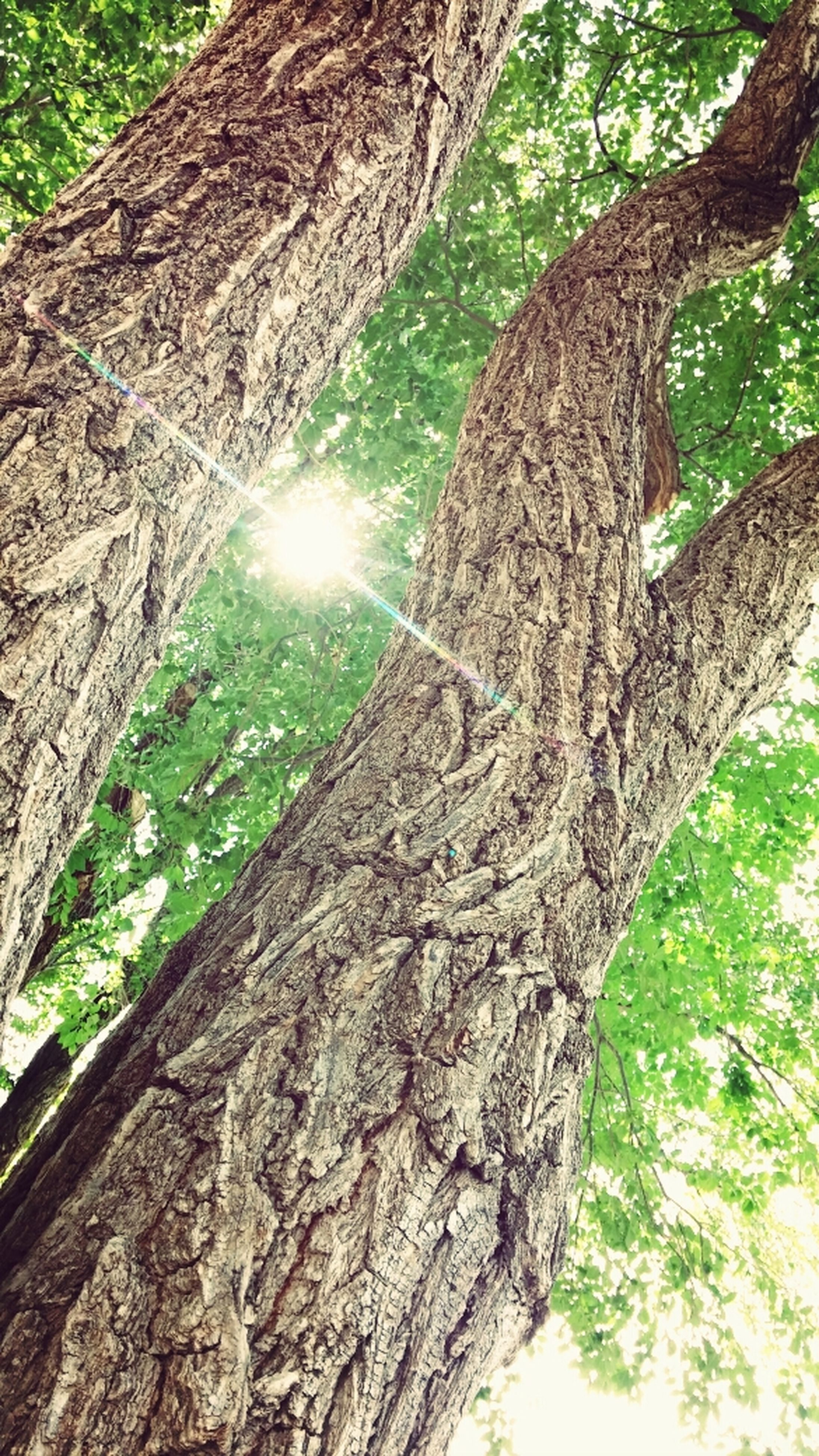 tree, tree trunk, growth, forest, nature, tranquility, low angle view, bark, textured, branch, beauty in nature, woodland, sunlight, green color, wood - material, tranquil scene, outdoors, day, scenics, rough