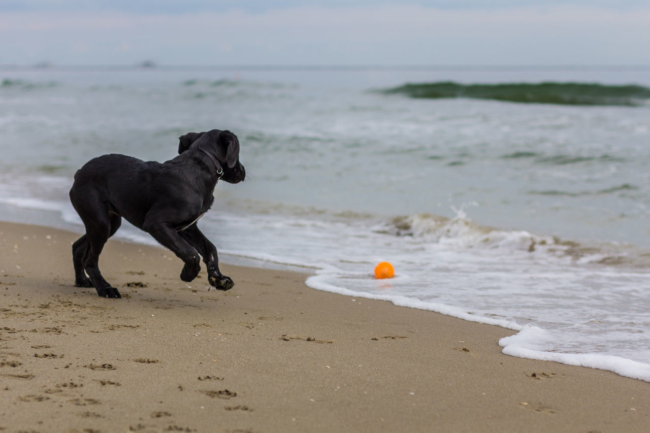 Black Dog Running By Ball In Surf At Beach