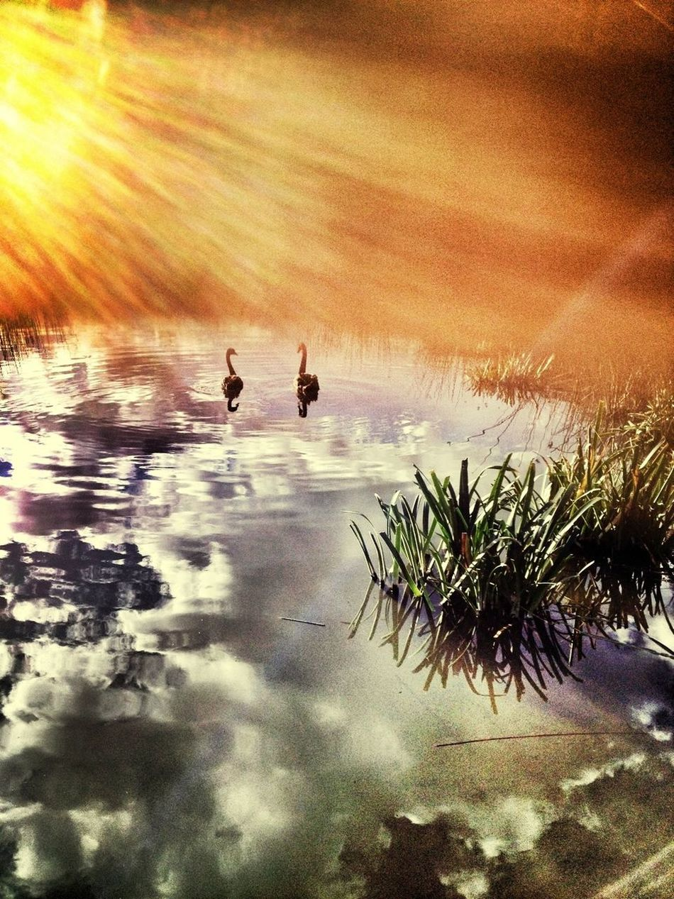 Two swans Reflection Light And Magic EyeEm Nature Lover