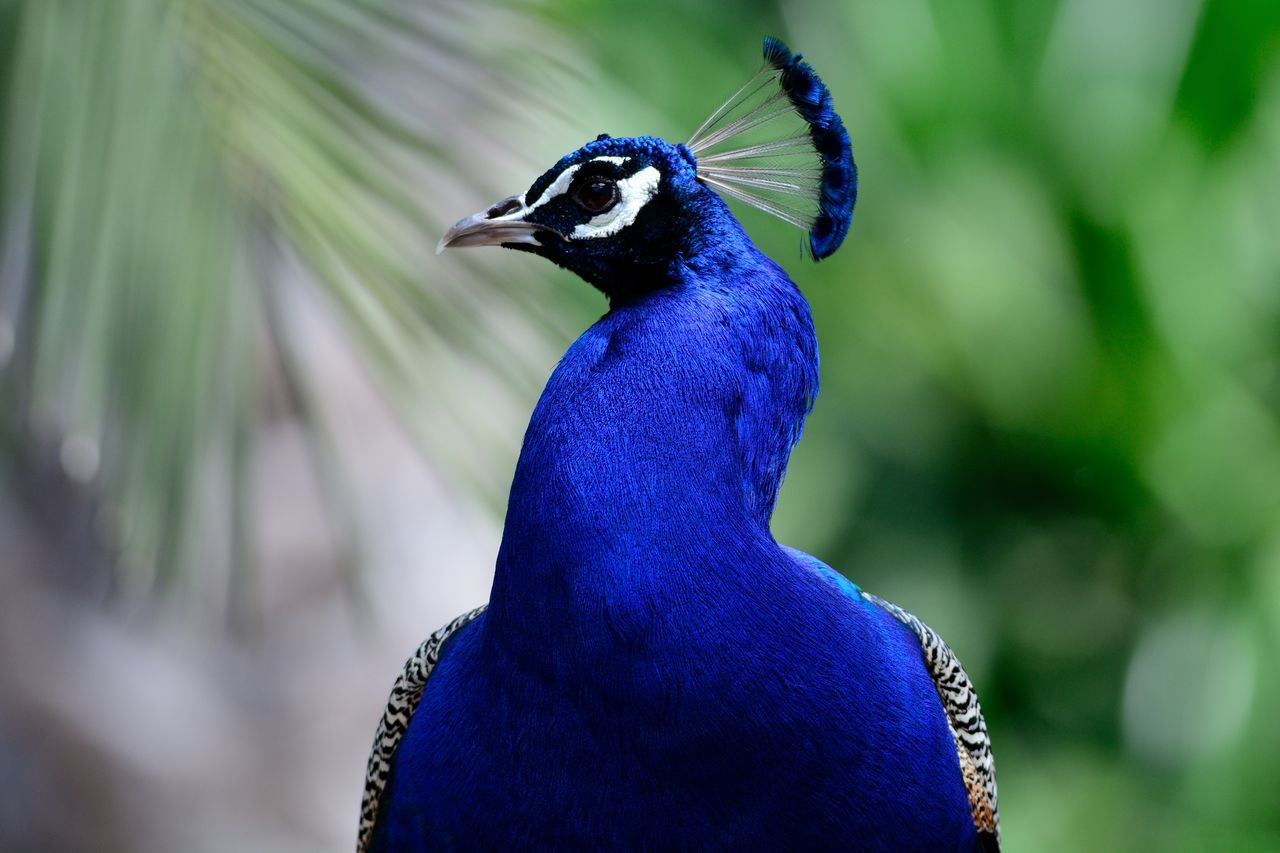 Animal Themes Beautiful Beauty In Nature Blue Bokeh Check This Out Close-up Color Portrait Colors Enjoying Life Eye4photography  EyeEm Best Shots EyeEm Best Shots - Nature EyeEm Gallery EyeEm Nature Lover Focus On Foreground Nature Nature Photography Nature_collection Naturelovers Outdoors Peacock Portrait Selective Focus Taking Photos