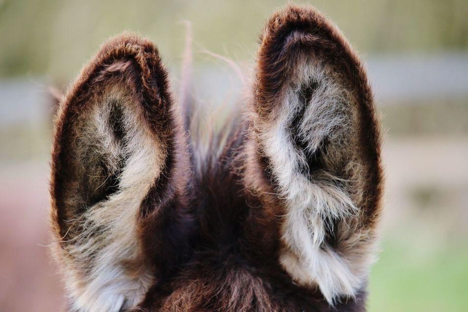 Beautiful stock photos of donkey, Animal Ear, Animal Themes, Close-Up, Day