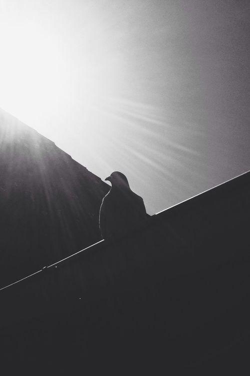 Dove. Dove Bird Black And White