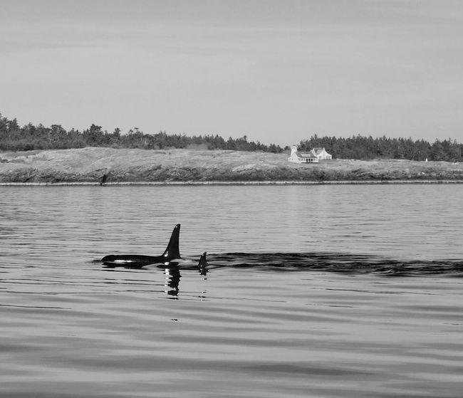Landscape Seascape Orcas Island Orca Killer Whale