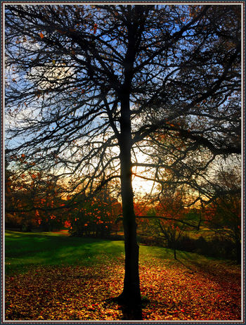 Katsura tree or Cotton candy or Candy Floss tree bare of leaves. A Few Leaves Left Autumn Autumn Leaves Bare Tree Fall Fallen Leaves Sun Behind Tree Tree Silhouette First Eyeem Photo