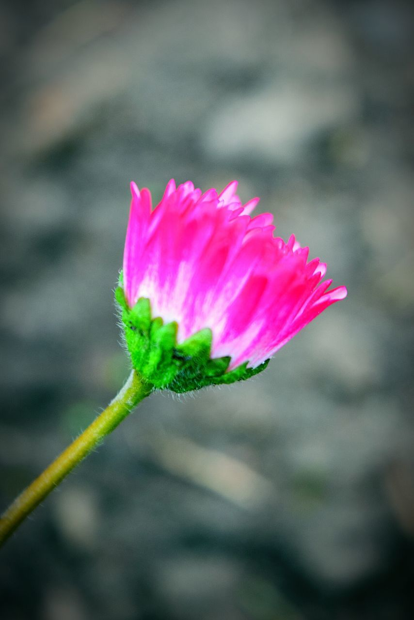 fragility, flower, nature, growth, beauty in nature, focus on foreground, plant, pink color, petal, close-up, freshness, flower head, outdoors, no people, day, blooming