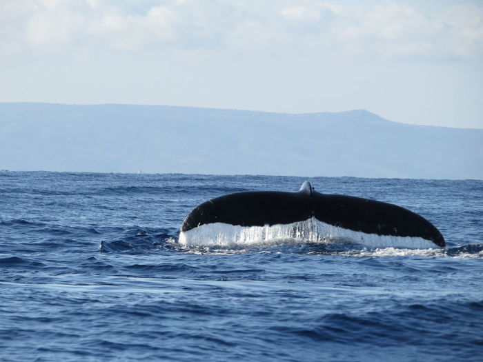 Early morning whale watching, Lahaina Bay, Maui, Hawaii...03.2014 Beauty In Nature Blue Cloud Cloud - Sky Day Horizon Over Water Humpback Whale Idyllic Jumping Whale Mountain Nature Ocean Outdoors Remote Rippled Scenics Sea Seascape Sky Tranquil Scene Tranquility Vacations Water Waterfront Whale Watching