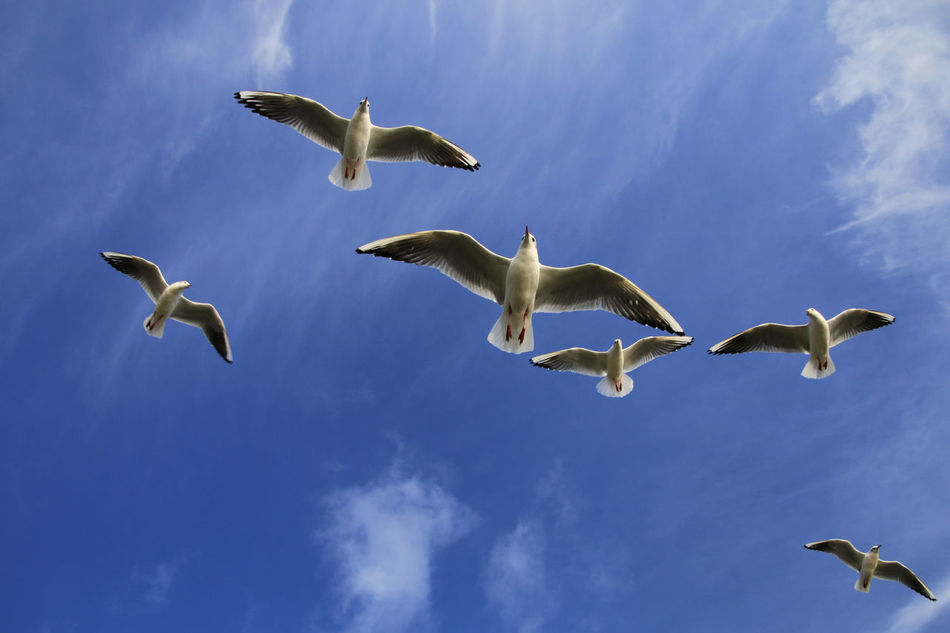 Animals In The Wild Avian Bird BLackCat Blackheaded Gull Blue Cloud - Sky Flock Of Birds Flying Low Angle View No People Outdoors Sky Spread Wings Togetherness Wildlife