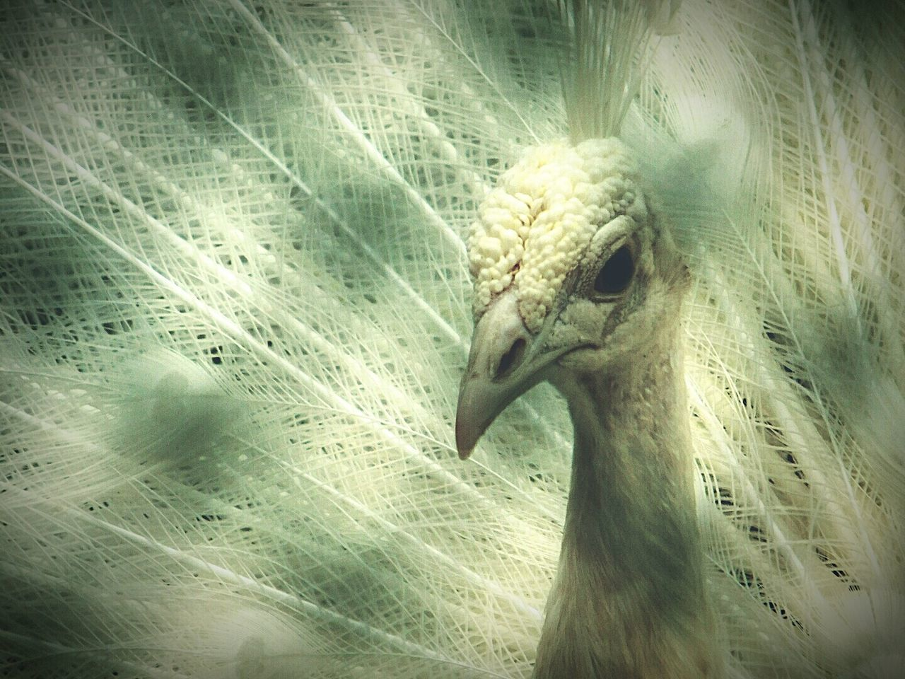 White Peacock Caged Looking For Freedom Sadness😢 Alone Looking At Camera Close-up Bird Wildlife Photography