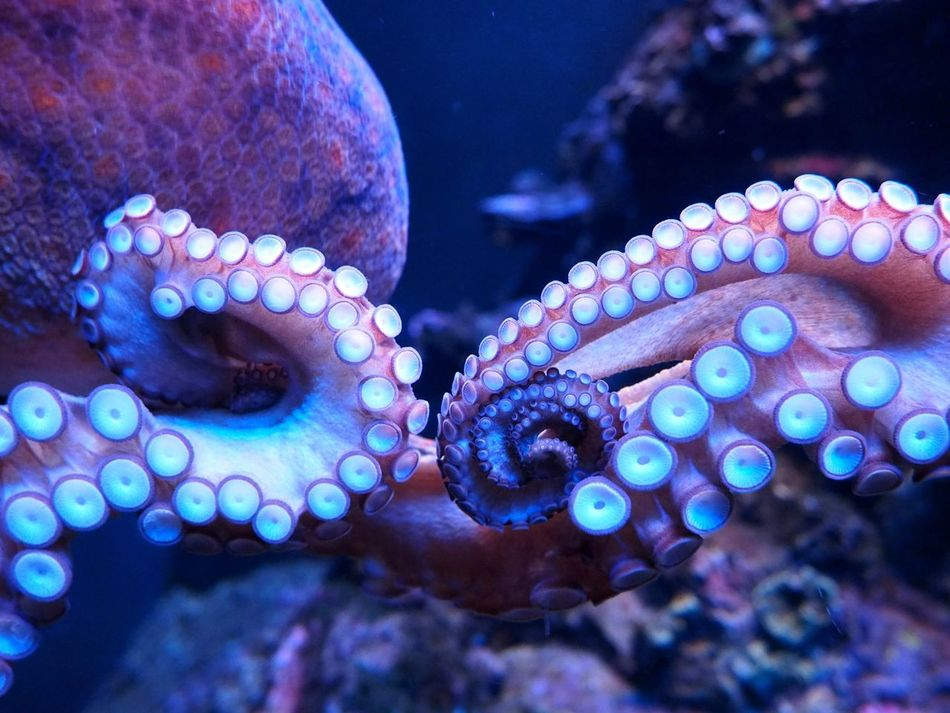Beautiful stock photos of octopus, Animal Themes, Animals In The Wild, Beauty In Nature, Close-Up