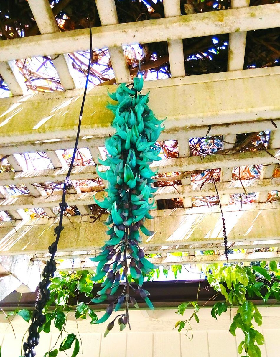 real color@maui Tree Christmas Illuminated No People Christmas Tree Christmas Decoration Christmas Lights Business Finance And Industry Indoors  Architecture Nature Sky Day Hawaii Maui Plant Beauty In Nature Nature Tree Flower Blue Jade Jade Vine