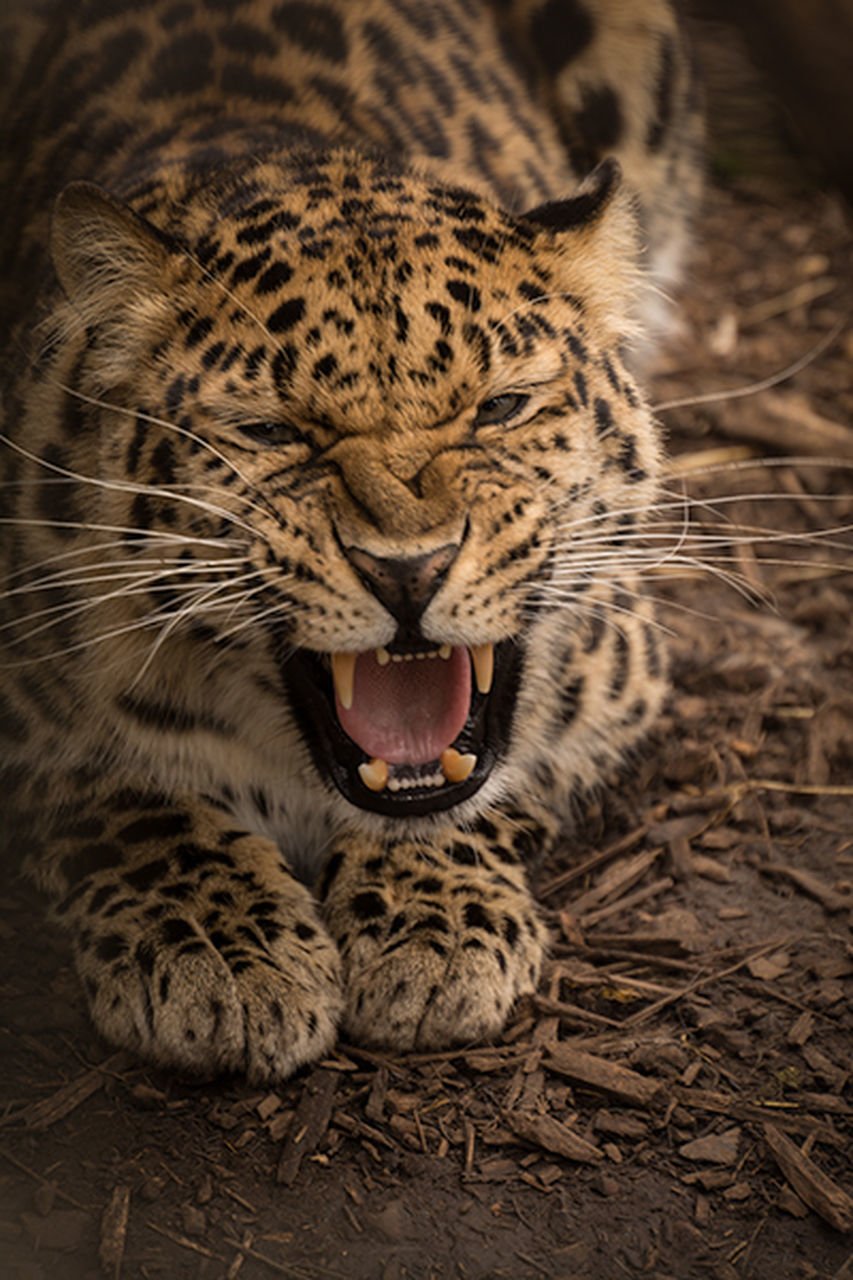 one animal, animals in the wild, animal themes, mouth open, leopard, animal wildlife, yawning, mammal, feline, no people, safari animals, day, close-up, outdoors, nature, cheetah