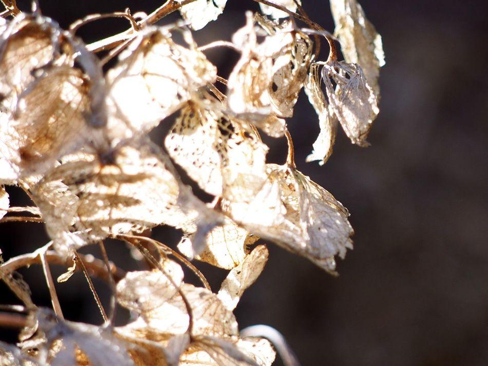 Hydrangea Flower Below The Freezing Point Flower