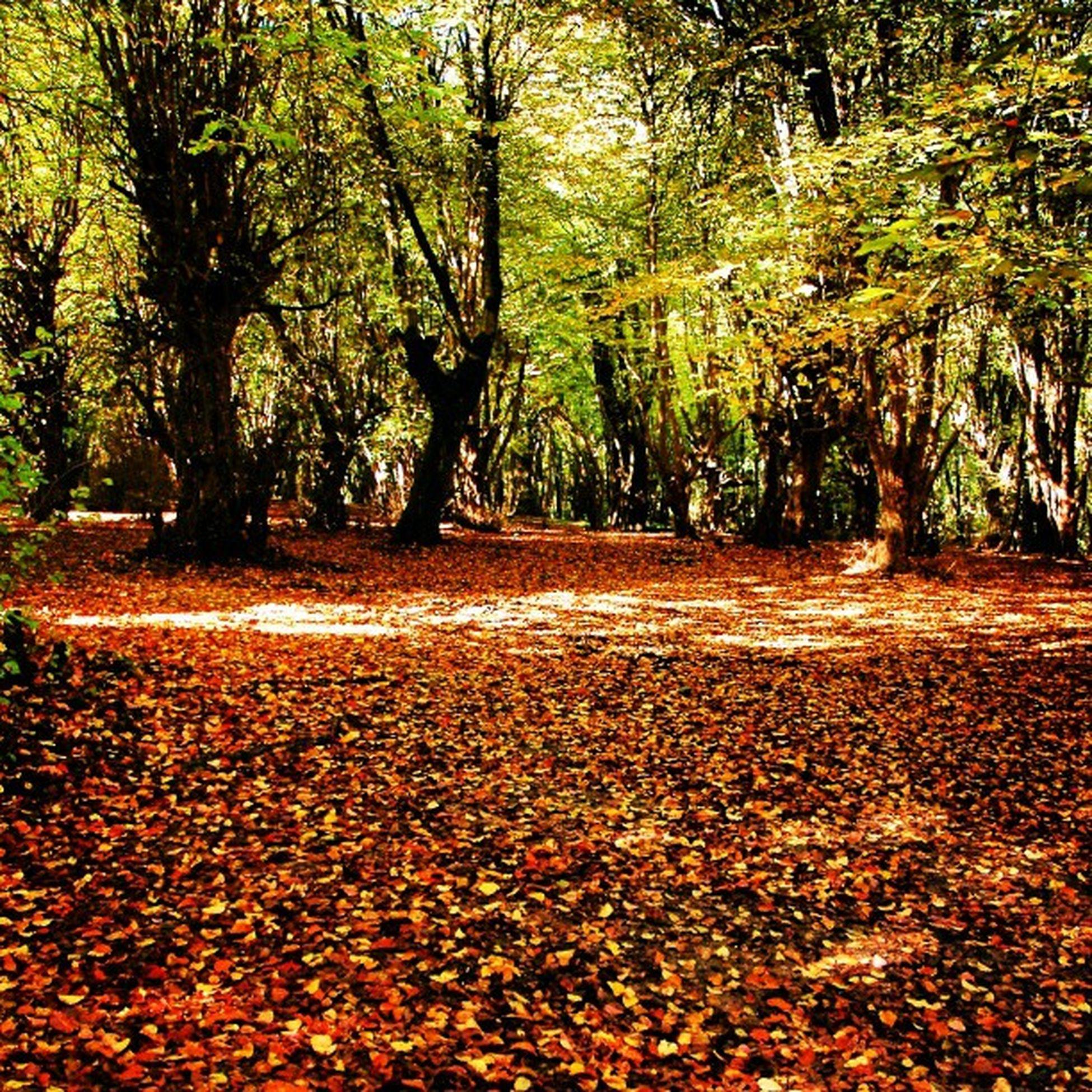 بهش میگن پاییز . جنگل النگدره گرگان Forest Jungle Iran پاییز Gorgan جنگل طبیعت Golestan گلستان گرگان برگها Nature زیبایی Beauty درختان Trees Alangdareh Leaves ایران Autumn النگدره